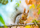Red euroasian squirrel eating nut on the maple branch