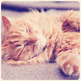 funny ginger cat sleeping