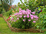 ideas for garden - Phlox paniculata in bloom