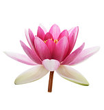Pink Waterlily Flower
