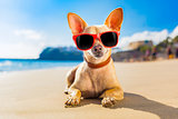 chihuahua summer dog