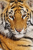 Closeup portrait of a young tiger