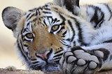 Closeup portrait of a young tiger