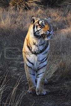 Tiger on patrol