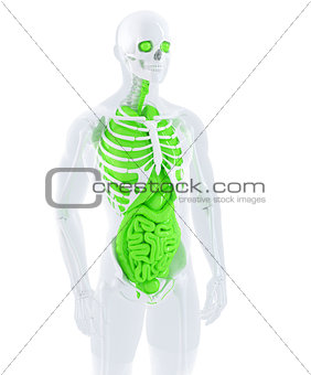 3d illustration of a male anatomy. Isolated. Contains clipping path