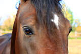 eyes of Arabian bay horse
