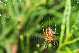 Spider with spider web