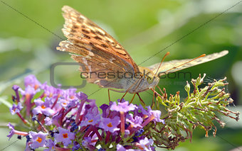 Agraulis vanillae butterfly