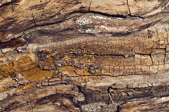 Old walnut tree trunk texture