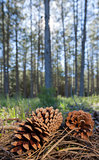 Pinecone in the forest