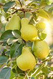 Bunch of ripe pears on tree branch