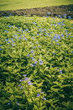 violets flowers field vintage