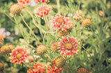 gaillardia aristata red yellow flower in garden vintage