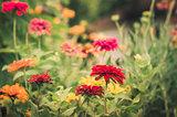 Zinnia flower vintage