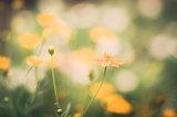 Cosmos sulphureus flower vintage