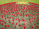 Lots of Red Tulips