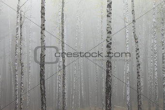 Fog in birch forest