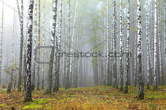 Grove of birch trees and dry grass