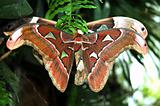 A Pair of Cecropia Moths
