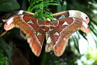 A Pair of Cecropia Moths