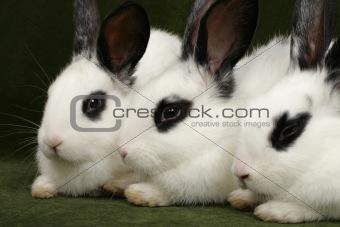 three rabbits