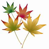 Japanese Maple leaves vector