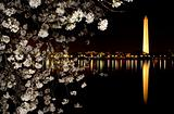 Washington Monument Cherry Blossoms Night Shot