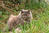 Grey cat on a background of a green grass