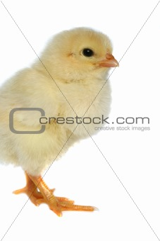 Small yellow chicken  on a white background