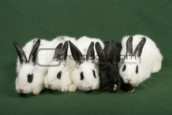 five rabbits