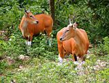 Gaur / bull