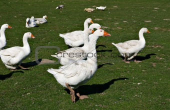 Free-ranging ducks