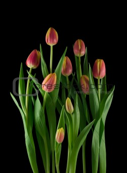 Arrangement of tulips