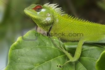 Green garden lizard I