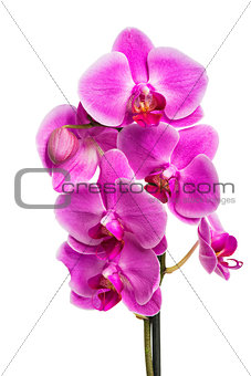 Beautiful pink orchid isolated on white background