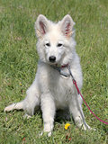 Portrait of White Swiss Shepherd Dog in the garden