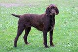 Typical Pudelpointer dog in the garden
