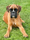 Brown Deutcher Boxer in the garden
