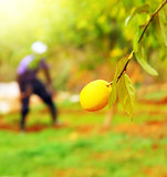 Farmer in lemon garden