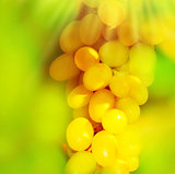 Closeup on a white grape