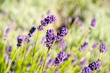 Lavender flower blossoming