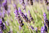 Lavender flower blossoming