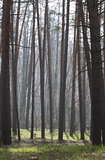 Pine forest in spring in the fog.