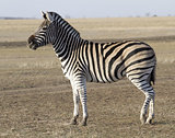 The male zebra Chapman in Ukrainian steppes.