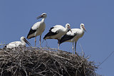 Young white storks, which are in the nest.