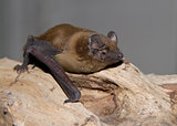 Noctule redhead sitting on a tree branch.