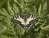Swallowtail feeding on a meadow.