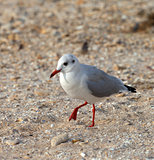 Seagull walking on sand