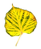 Yellowed autumn leaf