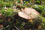 Brown stump on green grass